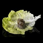 picture of scourge  - studio photography of a Grapevine snail on a single lettuce leaf in black reflective back - JPG