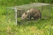 stock photo of opossum  - Virginia opossum Didelphis virginiana getting out of an animal trap