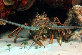foto of panulirus  - Caribbean Spiny Lobster  - JPG