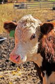 stock photo of hereford  - Closeup portrait of a Hereford calf with green ear tag - JPG