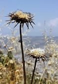 pic of defloration  - deflorate thistle flower as a symbol of bad environment - JPG