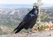 stock photo of raven  - Ravens are larger than crows with heavier bills and deeper voices - JPG
