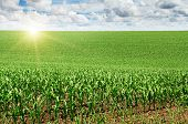 stock photo of farm land  - beautiful sunrise over the green corn field - JPG