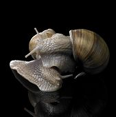 stock photo of scourge  - studio photography of two Grapevine snails on each other in black reflective back - JPG