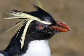 Penguin Rockhopper Portrait