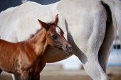 stock photo of fillies  - Foal with a mare - JPG