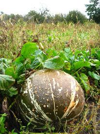 foto of cucurbitaceous  - The image of ripe grey pumpkin in kithen garden - JPG