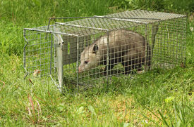 foto of opossum  - Virginia opossum Didelphis virginiana getting out of an animal trap  - JPG