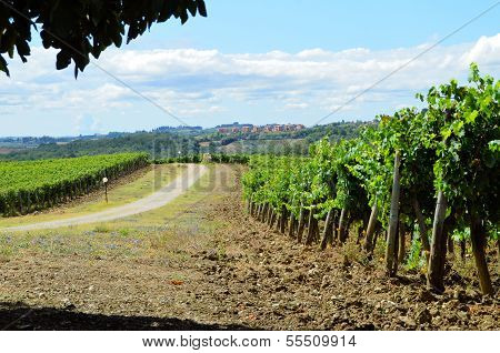 Chianti grapes in vineyard - Toscana, Italy