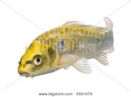 Yellow Koi Ogon- Cyprinus Carpio