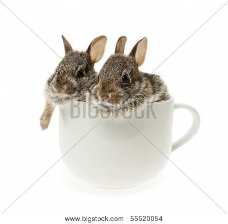 Two Baby Cottontail Bunny Rabbits In Cup