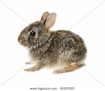 Baby Cottontail Bunny Rabbit