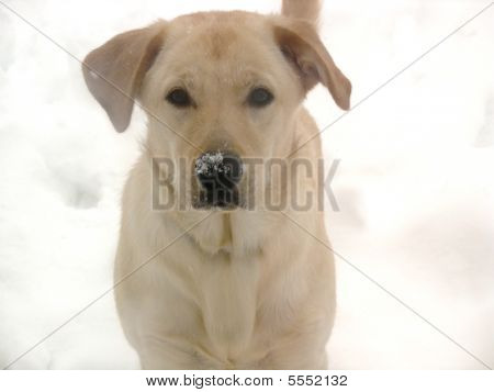Adorable Snow-loving Yellow Lab Puppy