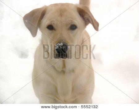 Adorable Snow-loving Yellow Lab Puppy