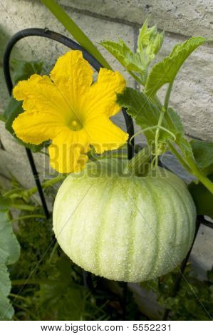 Grow Your Own Pumpkin