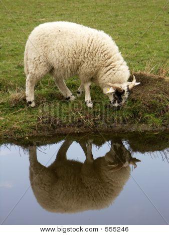 Sheep On Chanel Bank