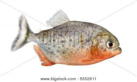 Side View On A Piranha Fish - Serrasalmus Nattereri