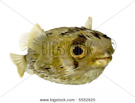 Long-spine Porcupinefish Also Know As Spiny Balloonfish (fish) - Diodon
