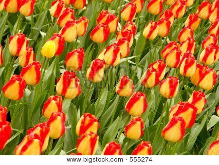 Tulip Field #1
