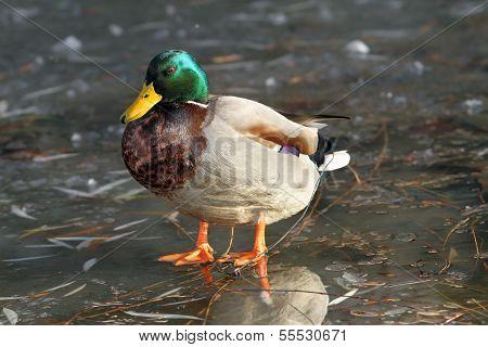 Male Mallard Duck Standing On Ice