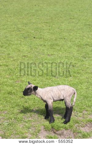 Little Lamb With Copyspace