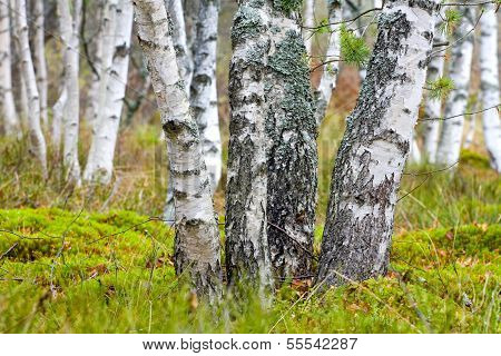 Natural Background - A Autumn Birchwood