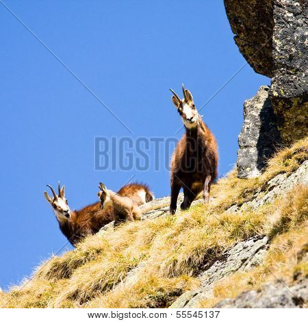 Chamois (rupicapra Carpatica) In Mountain High Tatras, Poland