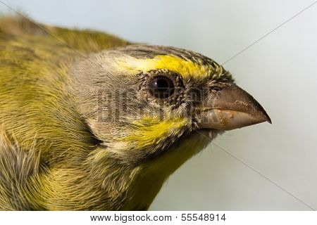 Head Shot Of A Yellow-fronted Canary (serinus Mozambicus)