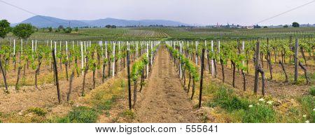 Panorama Of Wineyards In Spring