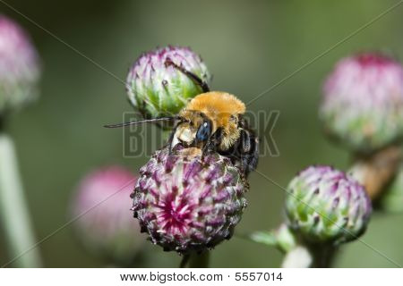 Golden Northern Bumblebee (bombus Sp.)