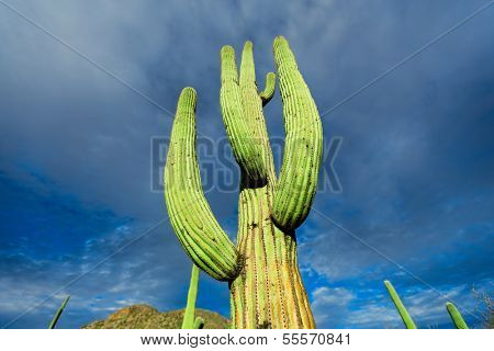 cactus in the Arizona desert against the sky