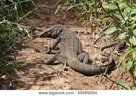 Komodo dragon (Varanus komodoensis),