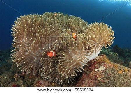 Anemone with False Clown Anemonefish