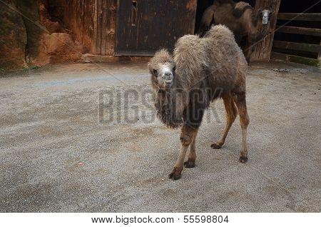 Cub Camel