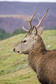 foto of cervus elaphus  - Juvenile Red Deer (Cervus elaphus) in the Scottish Highlands [[** Note: Slight graininess and blurriness, best at smaller sizes - JPG