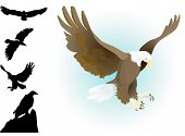 collection of eagles landing,flying, sitting with silhouettes set