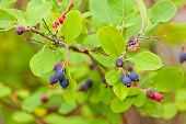 Ripe Blue Saskatoon Berries Amelanchier Alnifolia