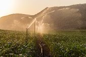 picture of maize  - Food maize crop getting water from sprinklers at sunset