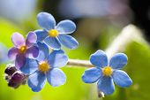 pic of forget me not  - Cute Flower Forget me not - JPG