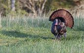 picture of mating animal  - A male wild turkey strutting ready for mating - JPG