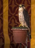 image of falcons  - It is a falcon with a wingspan of 95 - JPG