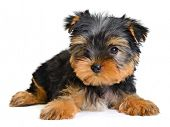 stock photo of fluffy puppy  - yorkshire terrier puppy the age of 3 month isolated on white - JPG