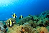 stock photo of school fish  - Moorish Idol fish on coral reef underwater - JPG
