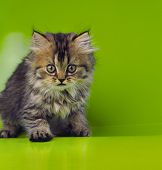 foto of mew  - nice young cat on a green background in the studio - JPG