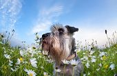 stock photo of schnauzer  - cute miniature schnauzer dog among chamomile flowers - JPG