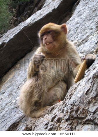Barbary Macaque  Monkey - Algeria