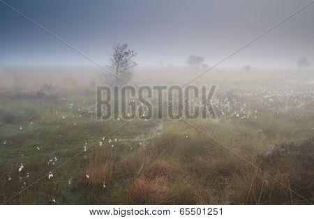 Cotton Grass On Marsh In Dense Fog