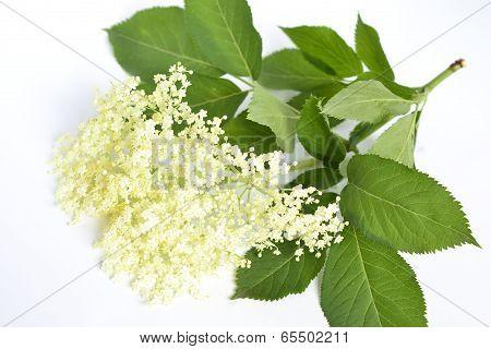 Elderflower, Sambucus Nigral