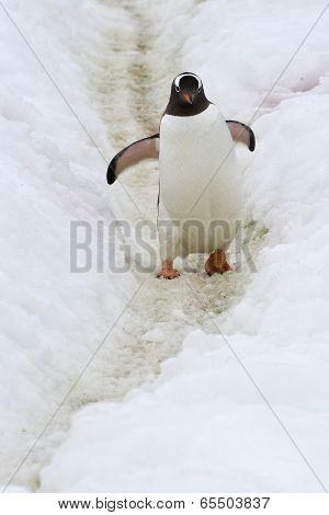 Gentoo Penguins Walking Along A Trail 2