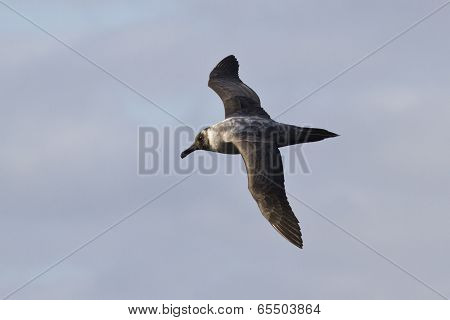 Light-mantled Sooty Albatross Flying Against The Blue Sky 2